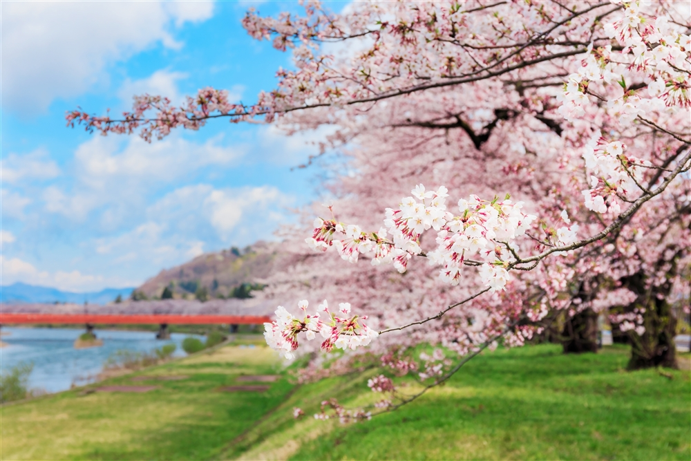 Springtime in Tohoku – Cherry Blossom and North Country Hospitality